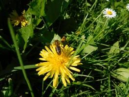Sorties botaniques et portes ouvertes, plantes sauvages comestibles et médicinales en Anjou